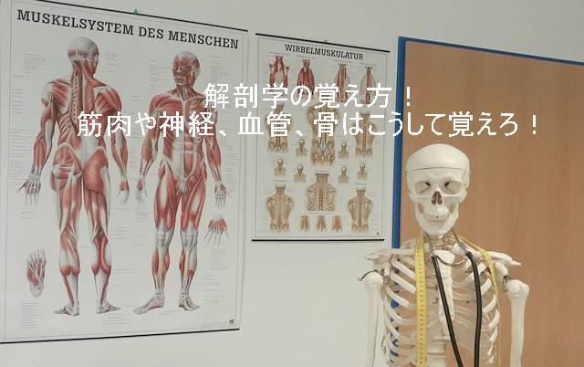 解剖学の覚え方!筋肉や神経、血管、骨はこうして覚えろ!